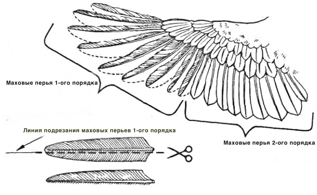 Как подрезать крылья курам, чтобы не летали - фото и видео советы
