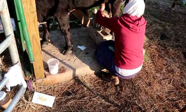 Почему горчит молоко у коровы и козы - причины и методы решения