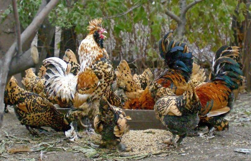 Какую породу хотим восстановить? о курах павловской породы | fermer.ru - фермер.ру - главный фермерский портал - все о бизнесе в сельском хозяйстве. форум фермеров.