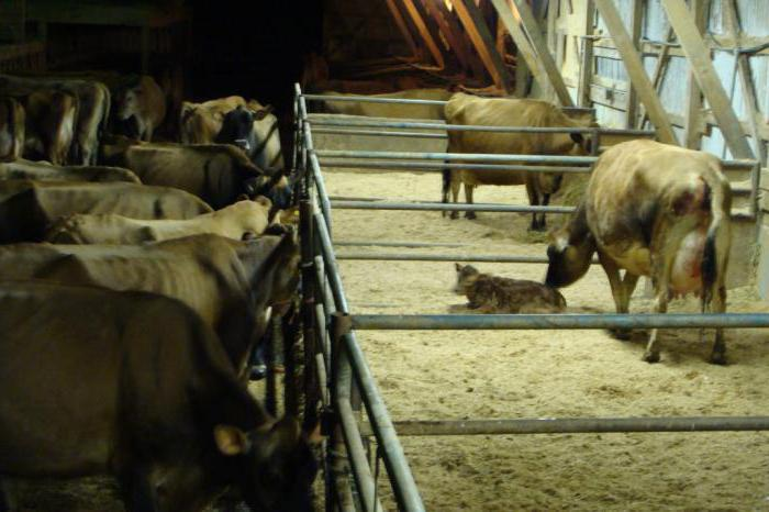 Как рожает корова