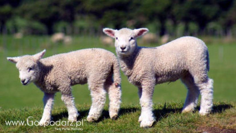 Ягненок это детеныш. как называется детеныш овцы