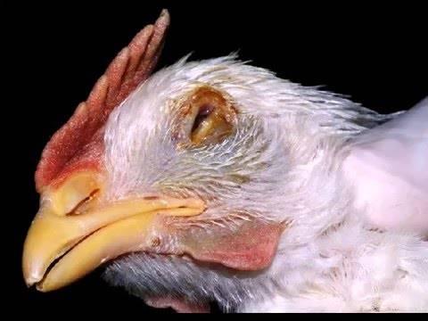 Оспа у кур – симптомы и лечение, профилактика заболевания