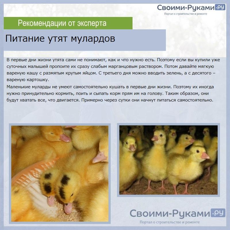 Чем кормить индоуток - рацион птиц на разных этапах жизни