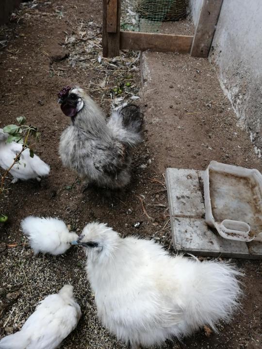 Китайская шелковая курица как определить пол