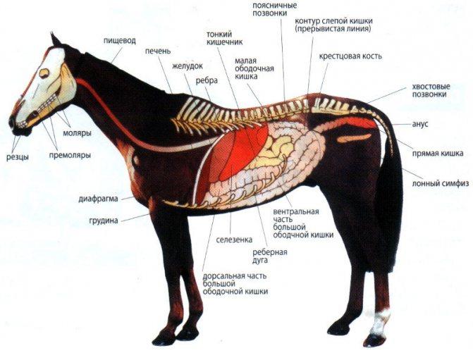 Анатомия лошади – особенности строения 2020