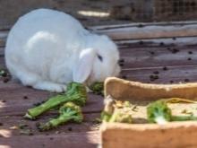 Можно ли давать кроликам ботву моркови и других овощей?