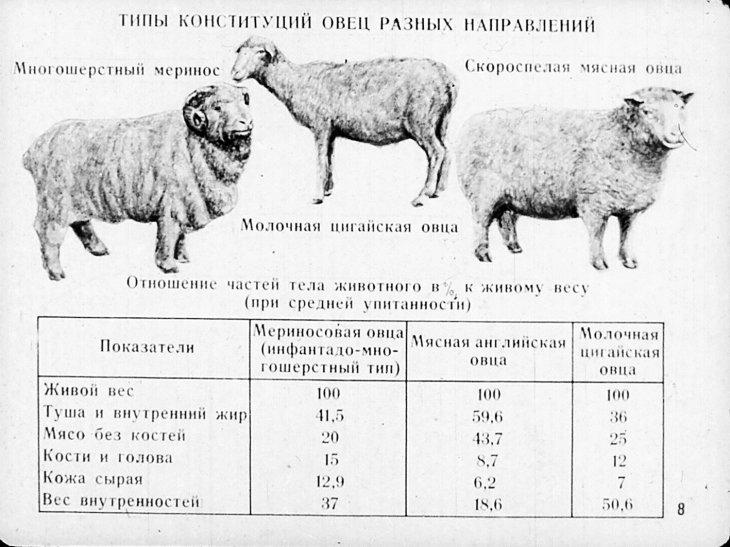 От чего зависит вес баранов и сколько они могут весить?