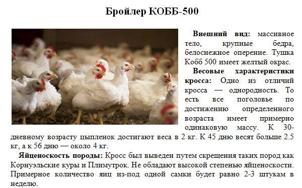 Бройлер кобб 500: описание, выращивание, отзывы, цена, фото