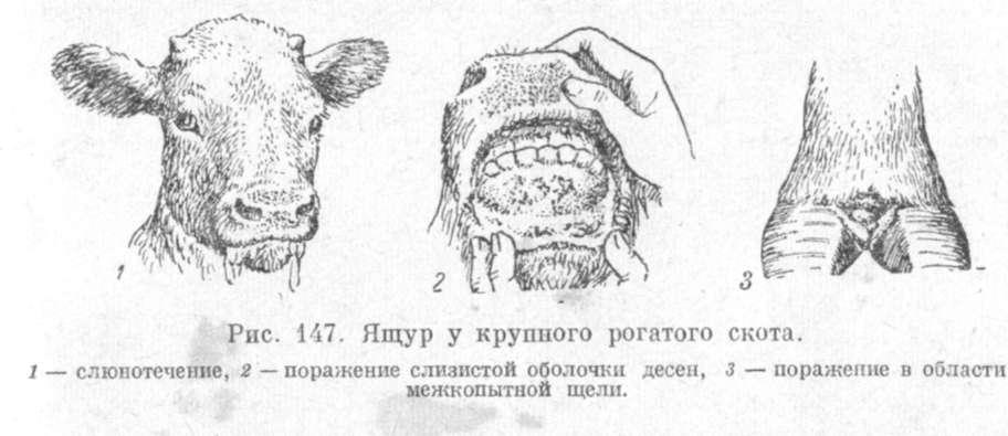 Болячки на вымени у коровы: чем лечить, виды патологий