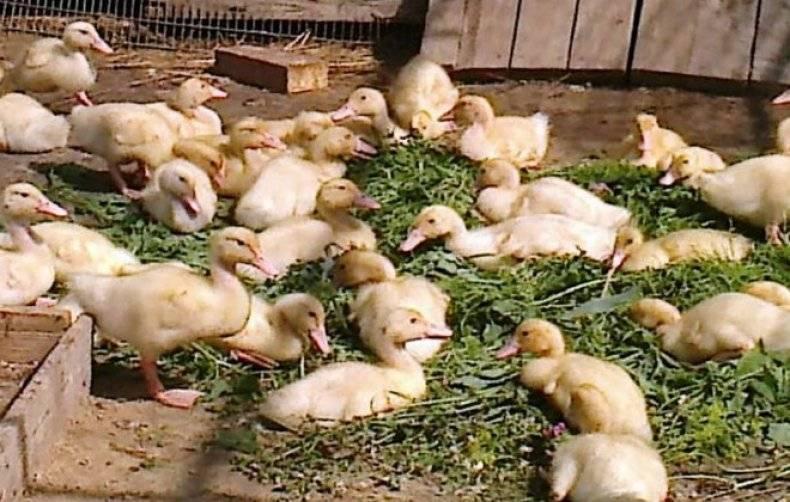 Утки и утята падают на ноги и дохнут — почему, что делать и как лечить