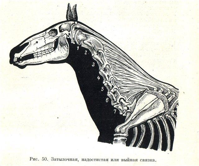 О строении лошади: круп, морда, суставы, шея, мозг, легкие, дыхательная система