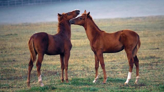 Советский тяжеловоз (порода лошадей): характеристика, фото