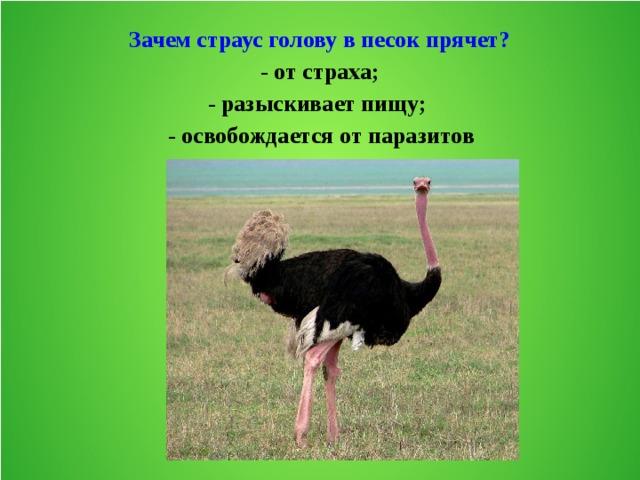 Правда ли страусы прячут голову в песок