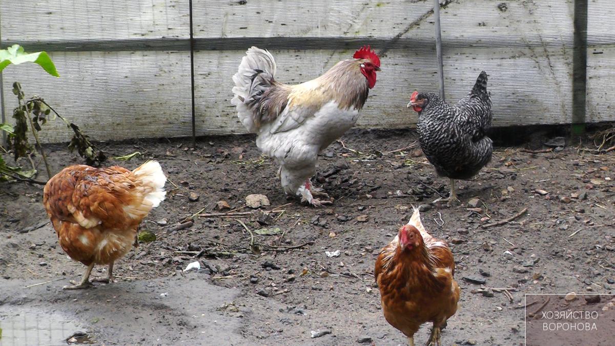 Почему куры клюют петуха – аграрий