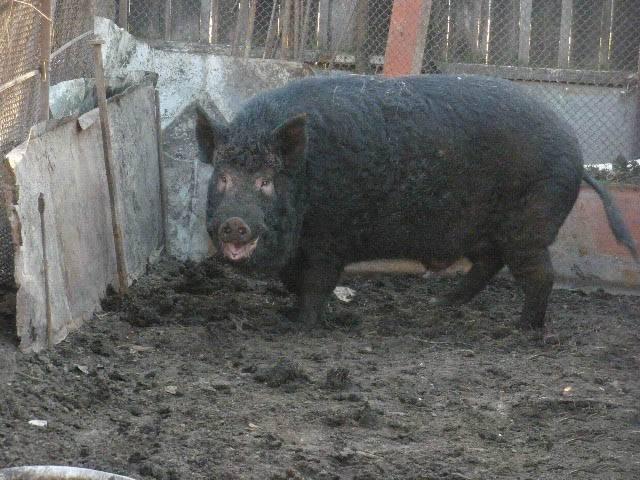 Кармалы порода свиней — характеристика и инструкция по выращиванию