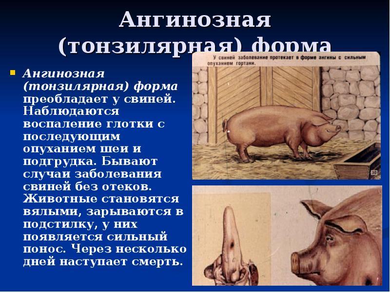 Классическая чума свиней: симптомы, вакцинация, против кчс