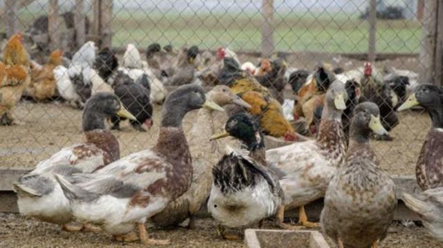 Можно ли держать вместе уток, гусей и кур вместе: рекомендации опытных фермеров