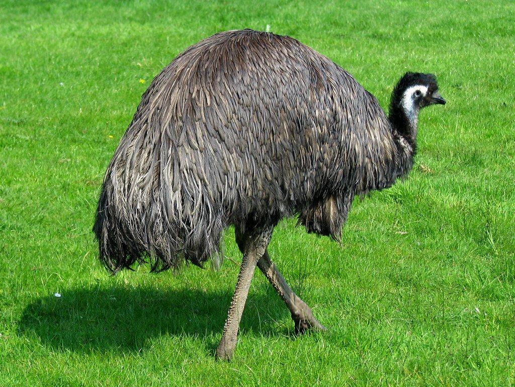 Разведение страусов в домашних условиях: тонкости бизнеса, содержание и уход