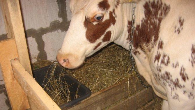Как правильно запустить корову перед отелом