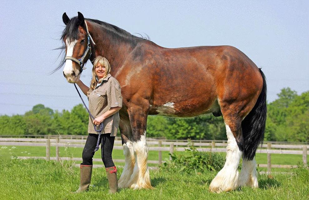 Шайрская порода лошадей: характеристика, содержание и уход