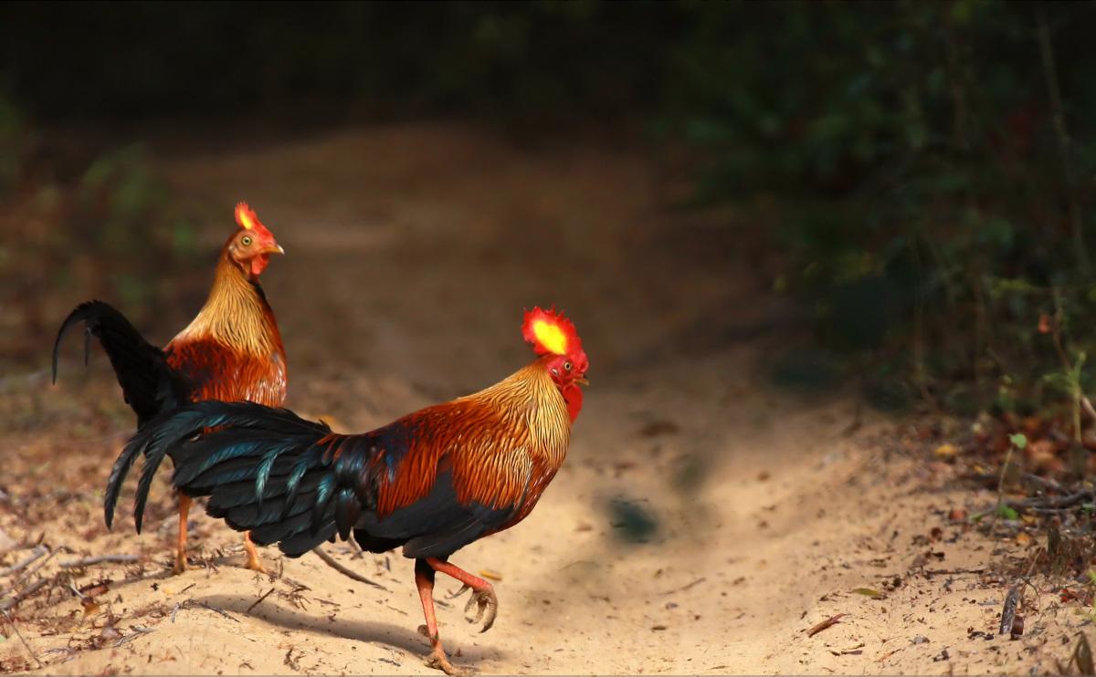 Дикая курица южной америки. дикая курица. гокко, или краксы