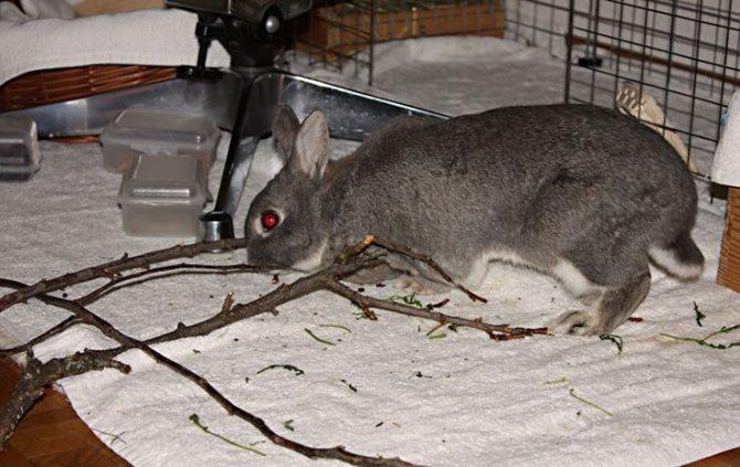 Какие ветки давать кроликам можно и какие нельзя: списки с фото