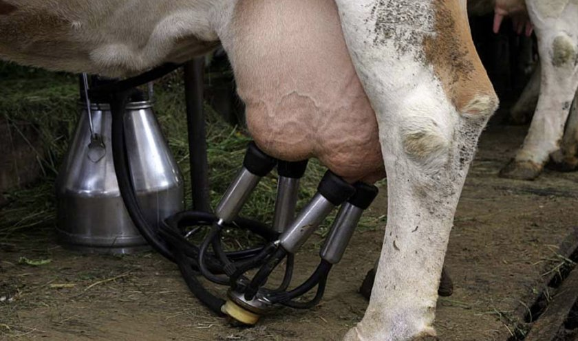 Как быстро и безболезненно приучить корову к доильному аппарату? - дача круглый год
