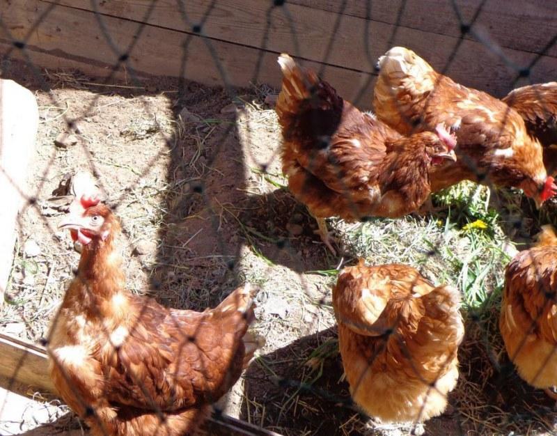 Разведение кур в домашних условиях: породы, которые используют для получения мяса, яиц и комбинированный вариант, а также особенности их выращивания