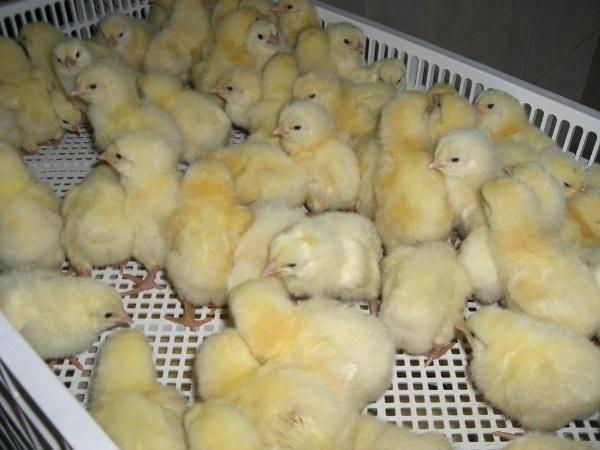 ✅ особенности ухода за цыплятами в домашних условиях, температурный режим - tehnomir32.ru