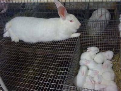 Кролик белый великан: характеристики и разведение