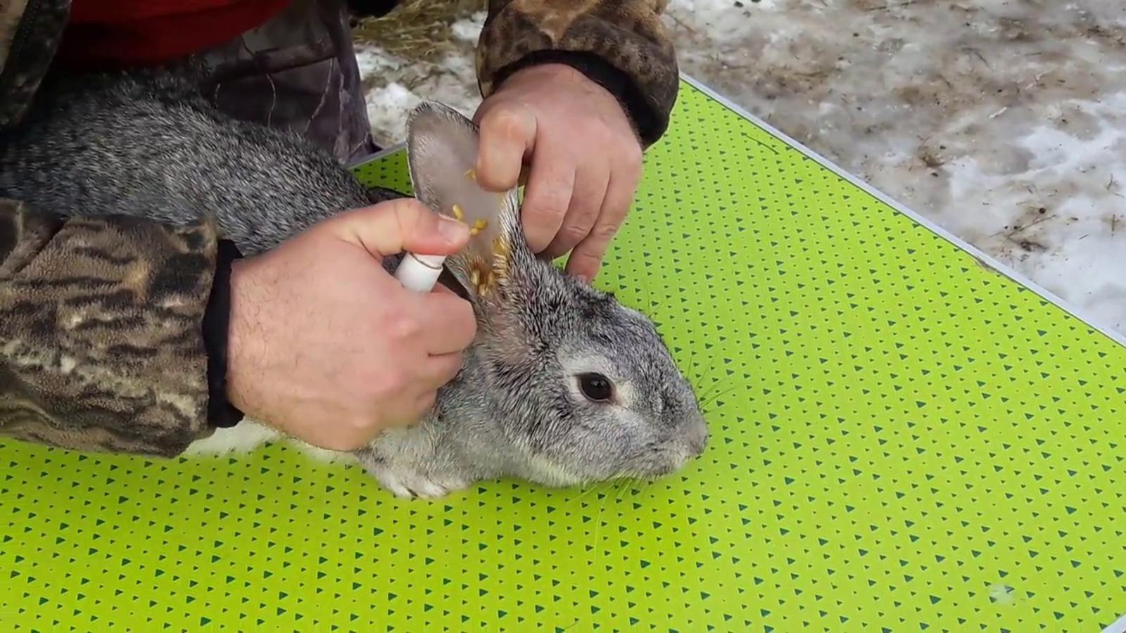 Обнаружение и лечение ушного клеща у кроликов