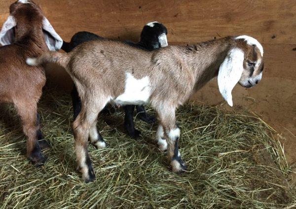 Нубийские козы: описание и характеристики породы
