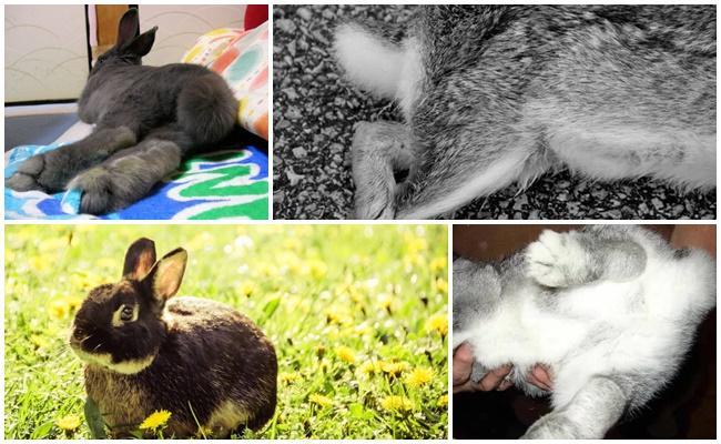 У кролика паралич задних лап — порядок действий