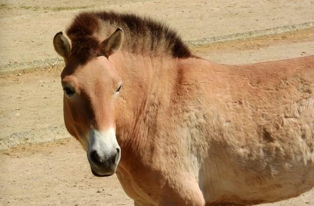 Лошадь пржевальского — фото и описание, интересные факты