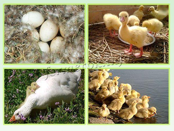 Статные гуси: все о губернаторских пернатых - всё о домашней птице