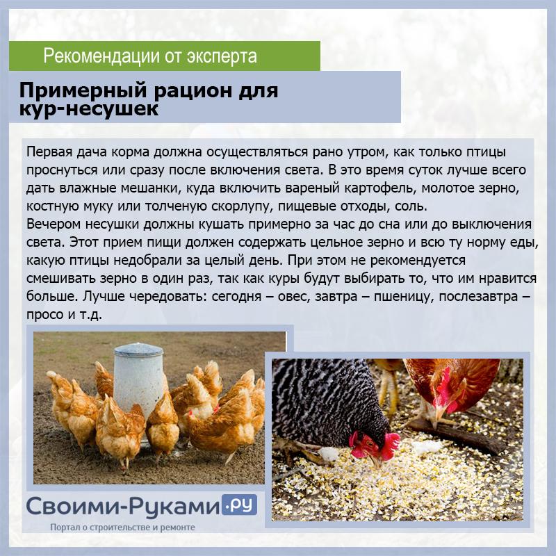 Сколько корма нужно курице-несушке в день: составляем рацион кормления
