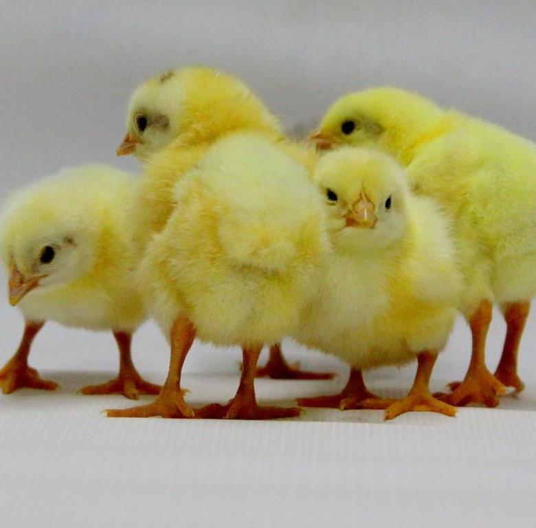 Описание породы бройлеров кобб 500 с отзывами заводчиков и фото цыплят