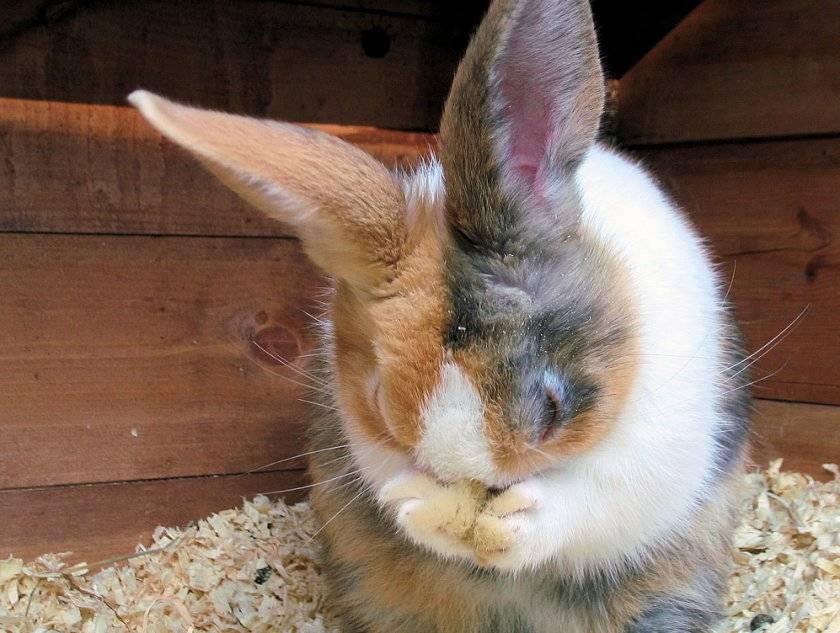 Ринит у кроликов лечение. какие симптомы, диагностика, определяем инфекционный ринит у кроликов.