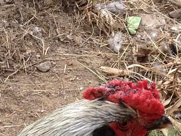 Почему у курицы синеет гребень как лечить