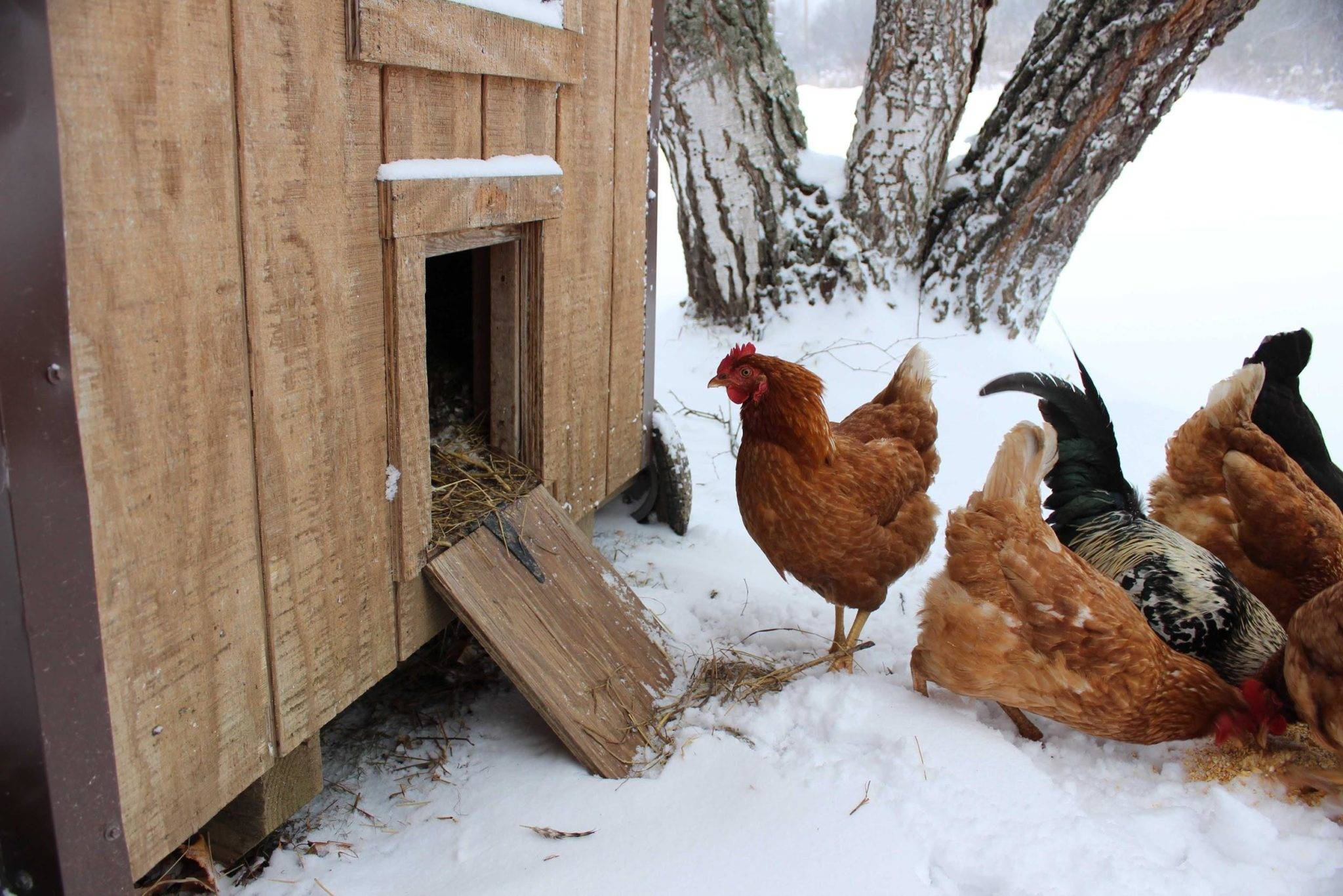 Зимний курятник на 20 кур своими руками: фото, видео, инструкция