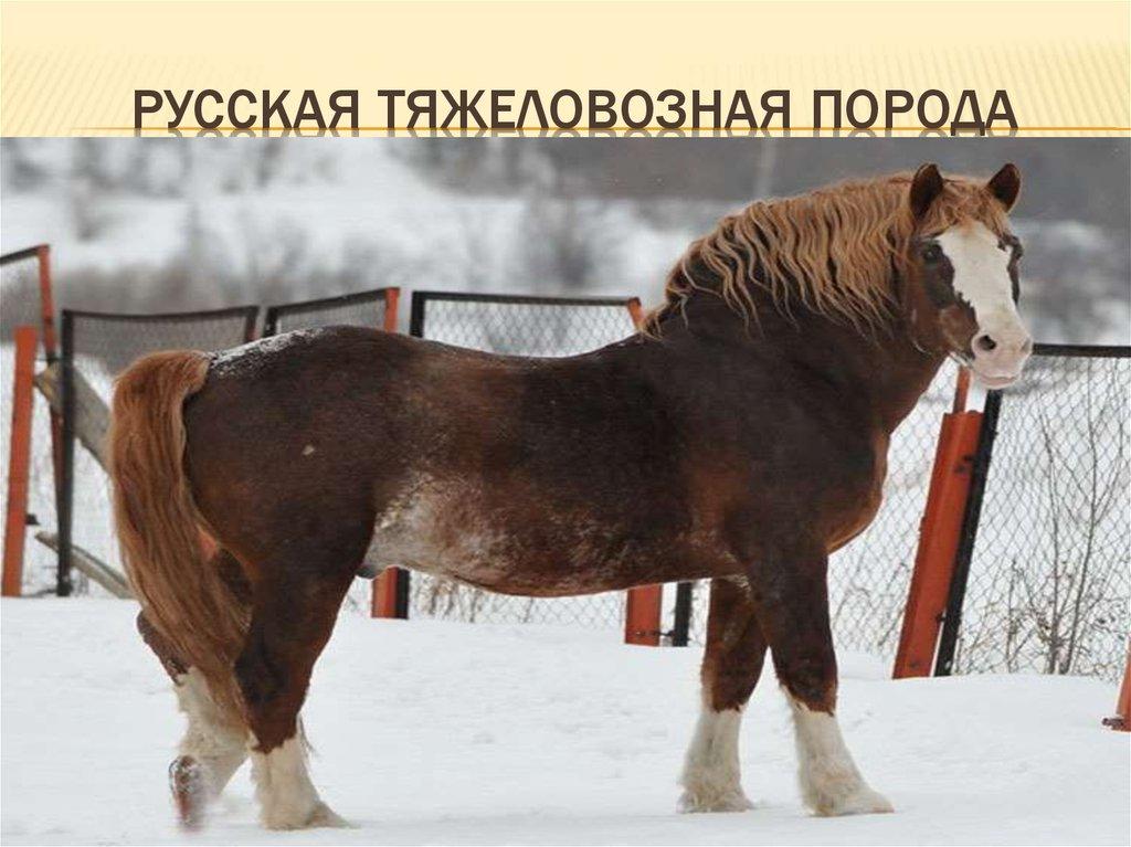 Советский тяжеловоз — гордость тяжелоупряжного коневодства