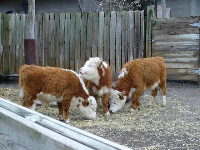 Самые маленькие коровы в мире
