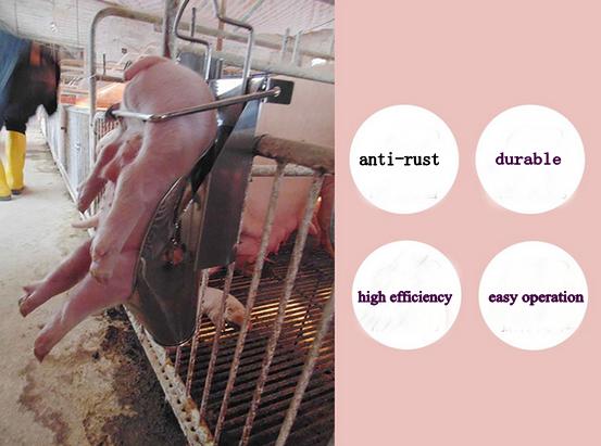 Все о кастрации взрослых свиней