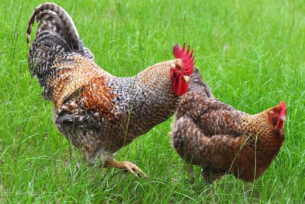 Порода кур билефельдер: описание и характеристика продуктивности, особенности содержания