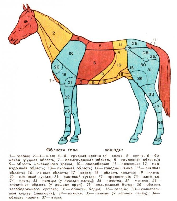 Лошади: описание, отличительные особенности, виды, иппотерапия