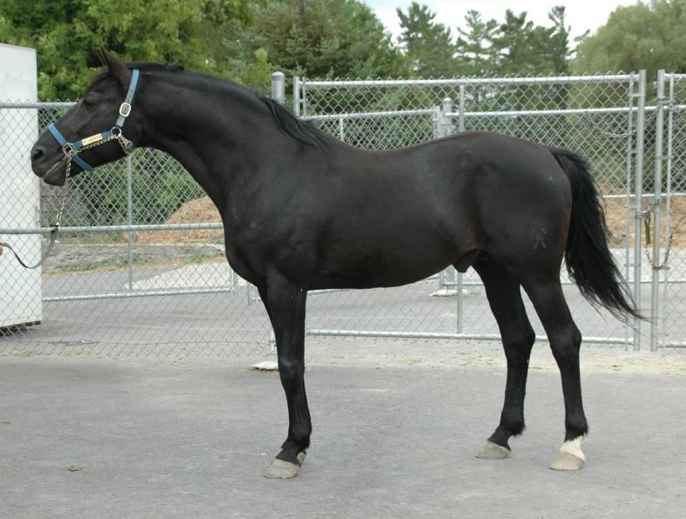 Ганноверская порода лошадей: содержание, рацион, уход и нюансы приобретения