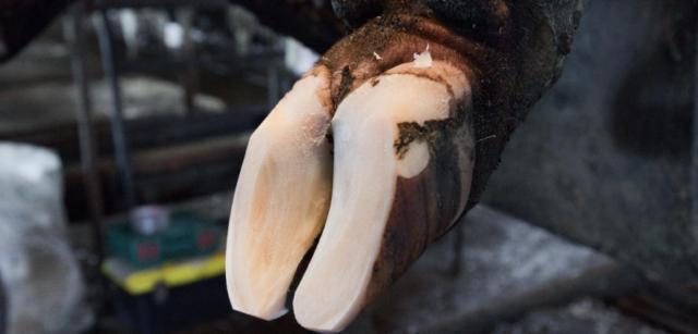 Суставы задних конечностей у коров