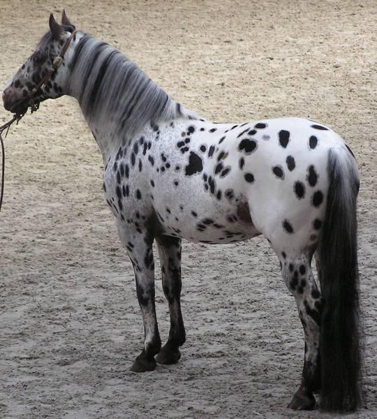 Буланая, саврасая или караковая – разбираем все масти лошадей