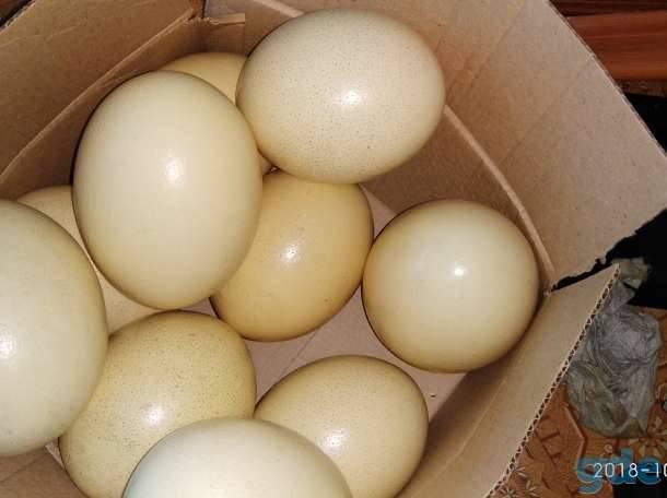 ✅ о страусиных яйцах: сколько весит и как часто страус может нестись - tehnomir32.ru