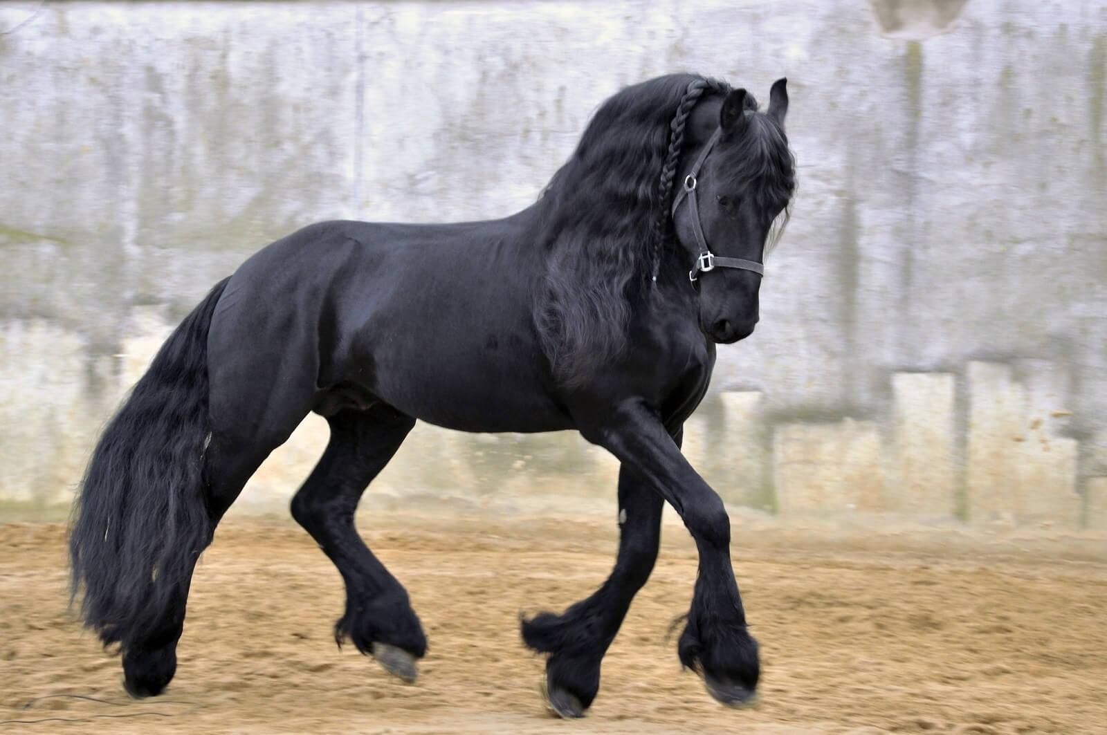 Фризская лошадь: условия содержания и перспективы разведения — cельхозпортал